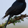 Common drongo.  He doesn't look happy.