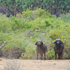 A couple of cape buffalo that we walked right by and didn't notice until they came out behind us.