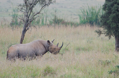 Black rhino.  We saw only two in the wild during this whole trip.