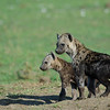 Spotted hyena pups.