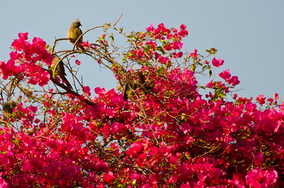 Speckled mousebird in the bougainvillea.