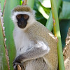 Vervet monkey.  He was hanging around in the garden at the Macushla House where we were staying.
