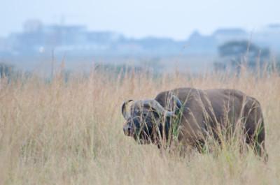 Cape buffalo at Nairobi National Park.