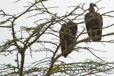 Lappet-faced vultures.