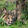 Cheetah eating.