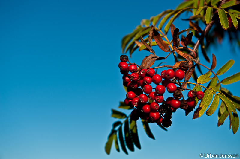 Verkar trots detta som det blir mycke snö i vinter, mycke rönnbär!!