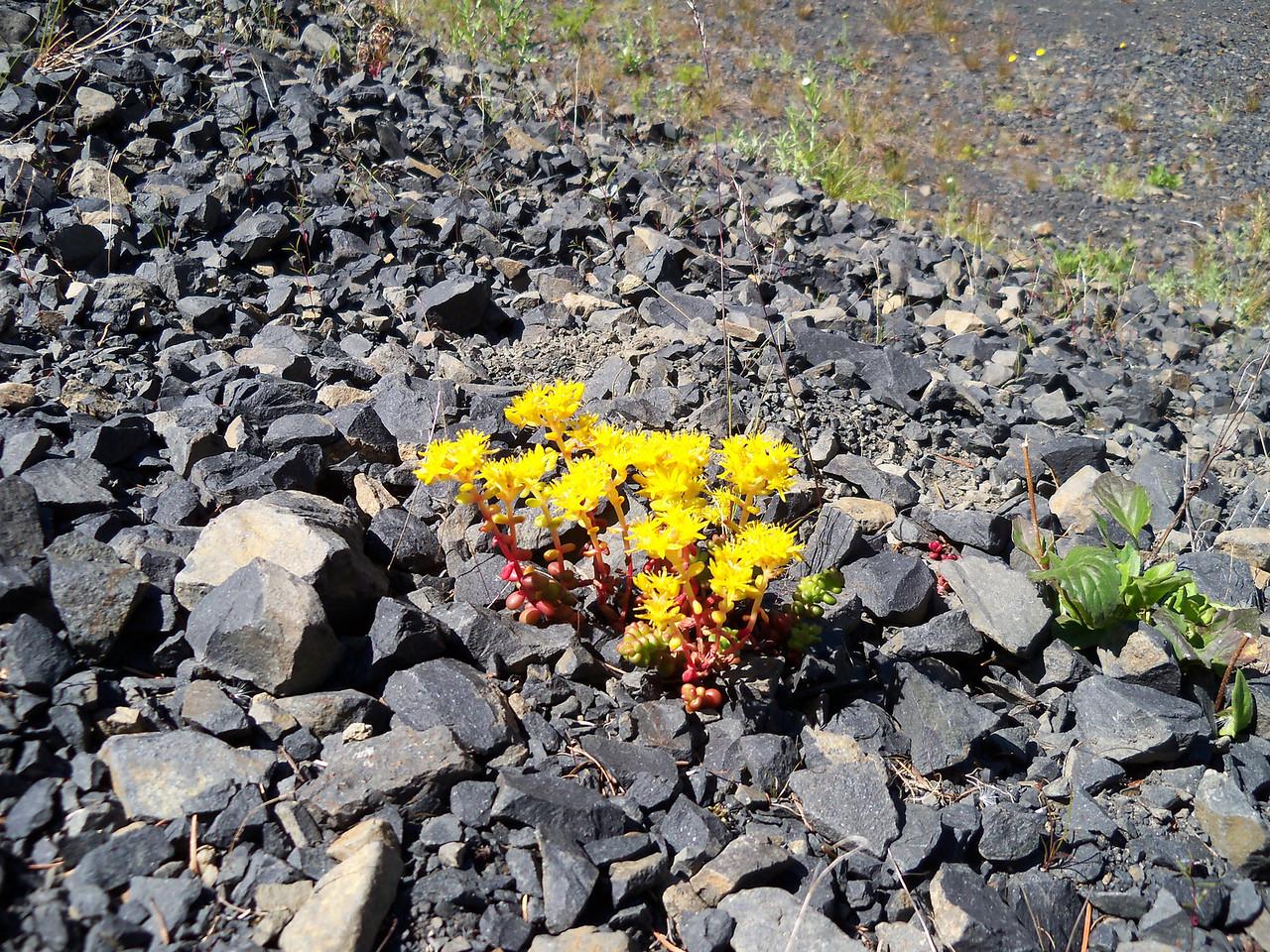 Yellow flowers/grey rocks