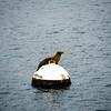 Diese Robbe bewacht den Catalina Hafen