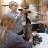 Shearing help: Shearer Kathy Kowal (R) gets help from volunteers as she prepares an alpaca for shearing Friday morning.