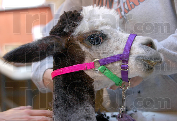 Sheered: Detail photo of an alpaca after sheering.