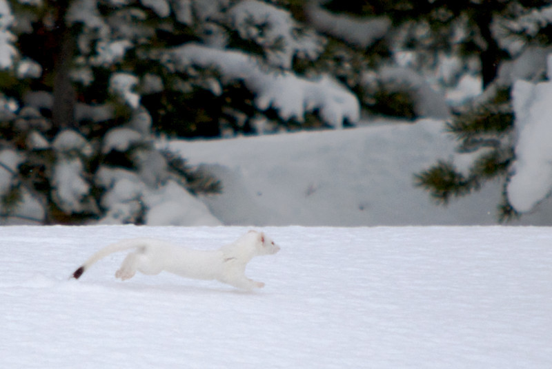 This ermine ran across the snow at the back of the house.