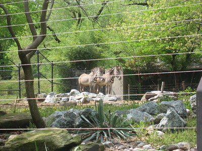 Grévy's zebras at the Smithsonian's National Zoological Park (4/23/11)
