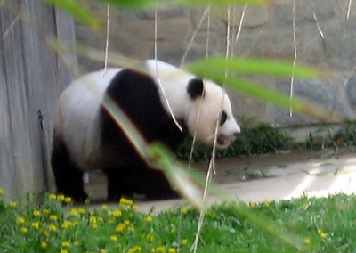 Giant panda at the Smithsonian's National Zoological Park (4/23/11)
