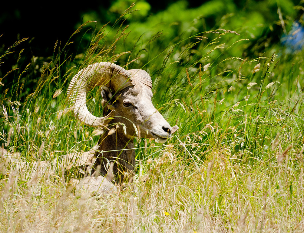Bighorn sheep reprise from Montana ski trip.