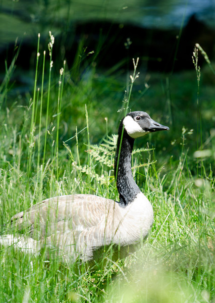 Canada goose - somehow managing to look cool despite being a Canada Goose.  Pet theory:  Canadians tend to be such a gentle folk because they've put all their wrath into their damned geese.