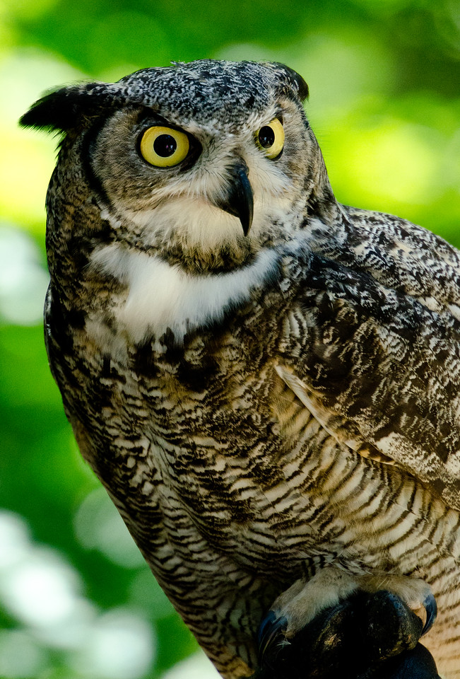 Great horned owl.  Wow was she cool.
