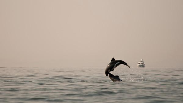 walvisbaai, Haviside's dolphin
