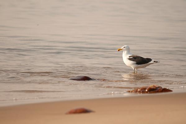 walvisbaai, kelp gull