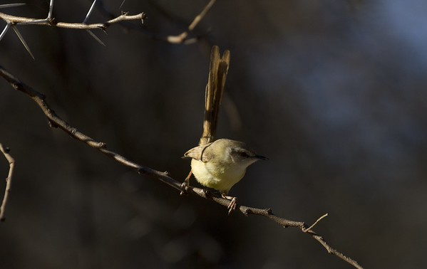 blackchested prinia