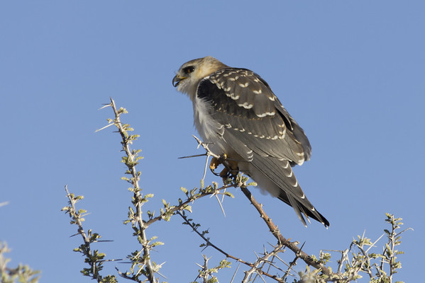 blackshouldered kite