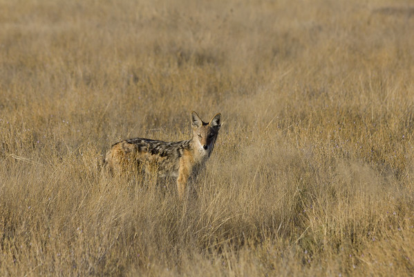 etosha, okaukuejo, blackbacked jackal