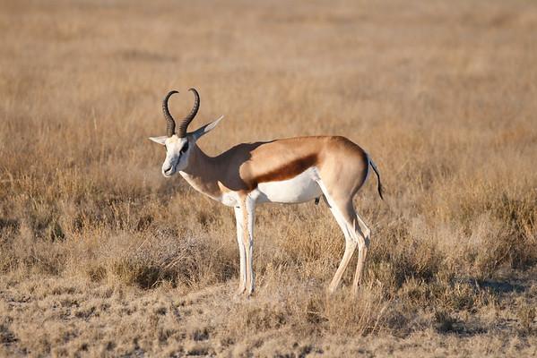 etosha, okaukuejo, springbok