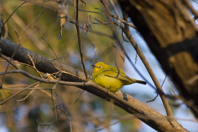 n'kwazi lodge, yellow whiteeye