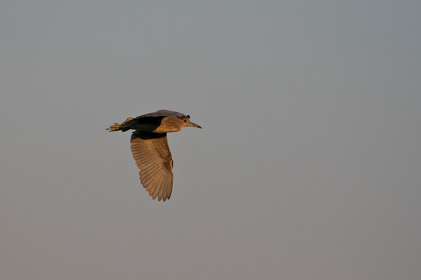 nkwazi lodge, greenbacked heron