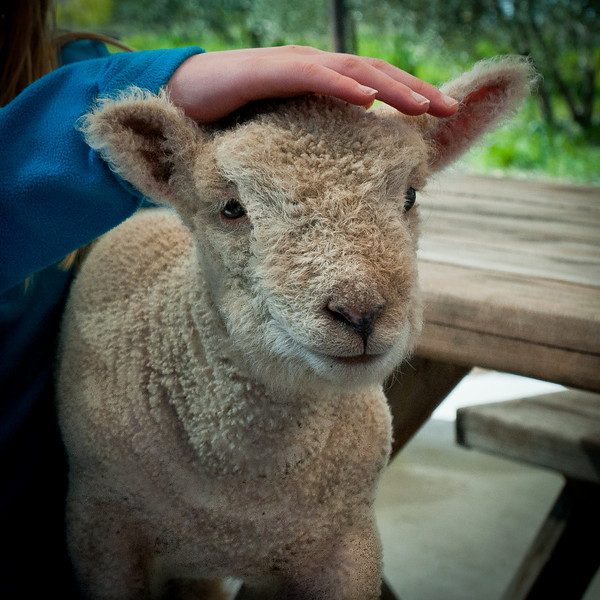 Towards the end of our tasting the owner/winemaker and his daughter showed up with a bunch of their new sheep, including this 10 day old baby sheep! It was so adorable and we kept wanting to pet it!