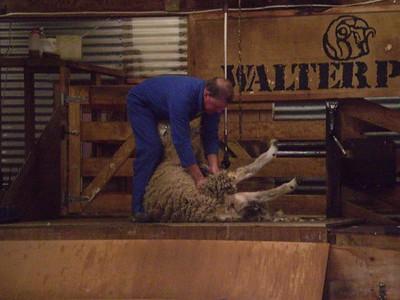 Sheep Shorn - William Howarth