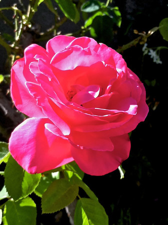 There are so many roses in N. CA - must be the climate.