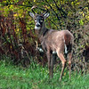 Buck: A young buck stands along Darwin Road near I-70 at dusk Sunday evening.