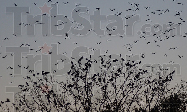 Tribune-Star/Jim Avelis<br /> Inbound: Crows roost and fly near 13th and Hulman streets early Monday night.