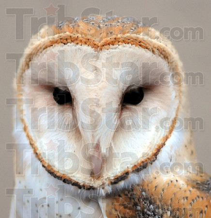 Tribune-Star/Jim Avelis<br /> Best hearing: Theodore is a barn owl, the species known for its excellent hearing ability among a group of raptors know for locating prey by sound. Theo imprinted on humans as an owlet making survival in the wild too tenuous for release. He is now part of Dale and John Stokes' Soar program.