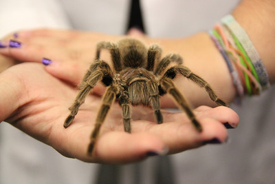 The tarantula gets showed around the Octoberfest