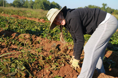 Gardner-Webb students volunteer to help with the Cleveland County Potato Project; Fall 2011.