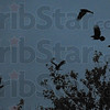 Crows: Crows take flight as pyrotechnics explode just north of Wabash Avenue on North 12th Street Monday evening.