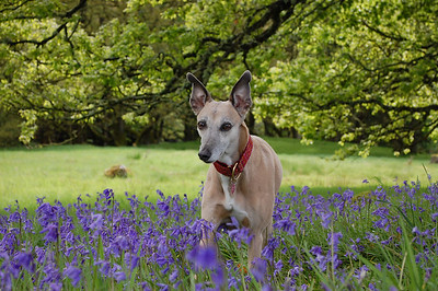 Penny in the bluebells 2011