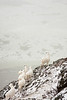 Dall Sheep on the cliffs above the Seward Highway.