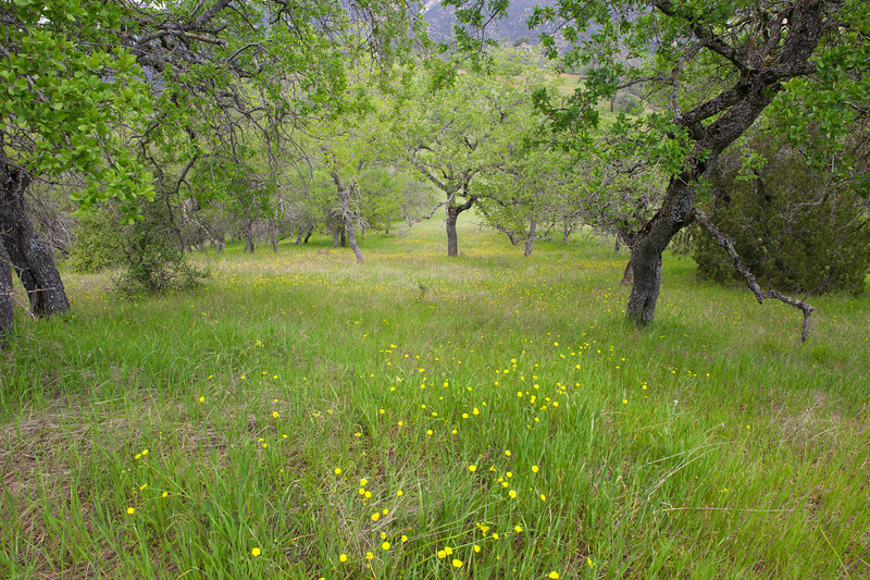Buttercups beneath oaks