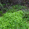 Miner's lettuce patch