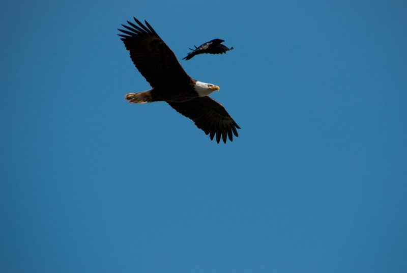 Crow hassling an Eagle at the beach house