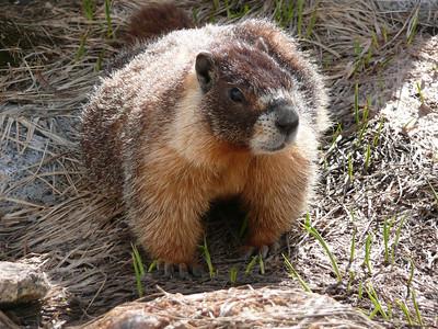 "One of John Muir's ""fellow mortals"", a Yellow Bellied Marmot."