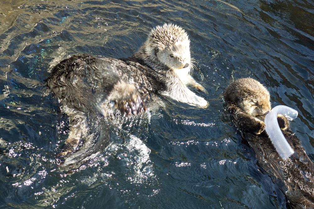 Stanley Park Sea Otters