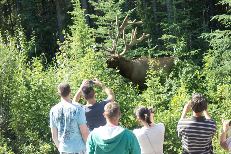 Tourists too close to elk