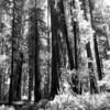 Redwood trails ... Return of the Jedi was filmed here.