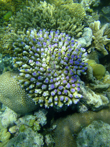 Coral purple-tipped
