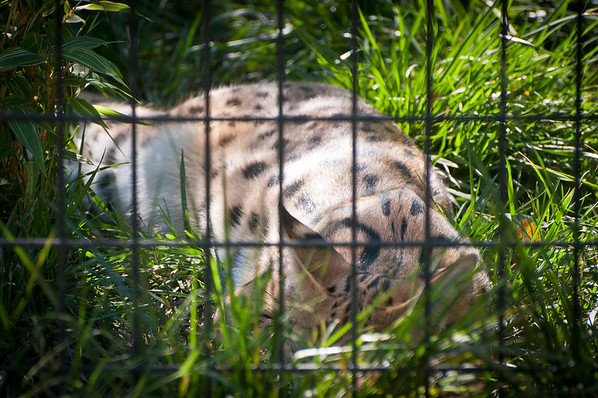 Serval Cat at Safari West -- African Safari in Sonoma, CA! They breed these with housecats to make Savannah Cats