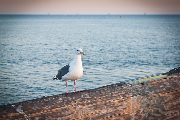Sammi and I went for a walk along the wharf and we found this sea-gull waiting for us. I decided to play with my brand new Nikon D700 (ok, I bought it slightly used, but it was new for me) and took this photo.
