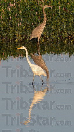 Tribune-Star/Jim Avelis<br /> Reflections: With the waters of the Wabashiki Wetlands receeding, herons have gathered to take advantage of the easy hunting.
